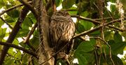 27th Nov 2016 - Sleepy Barred Owl!