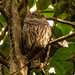 Sleepy Barred Owl! by rickster549