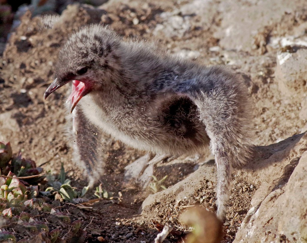 Rd billed gull chick flapping new wings by maureenpp