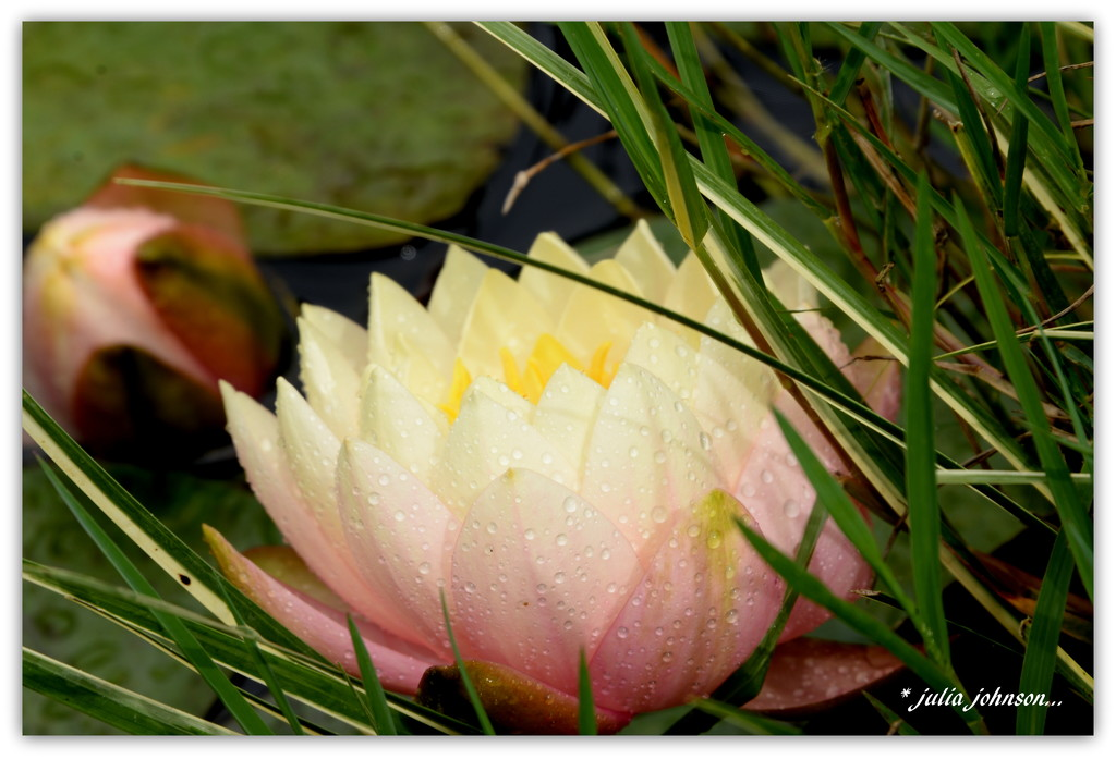 Water Lily by julzmaioro