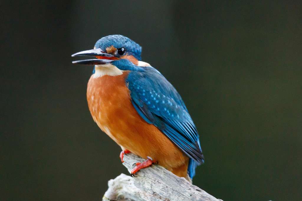Male Kingfisher very close again by padlock