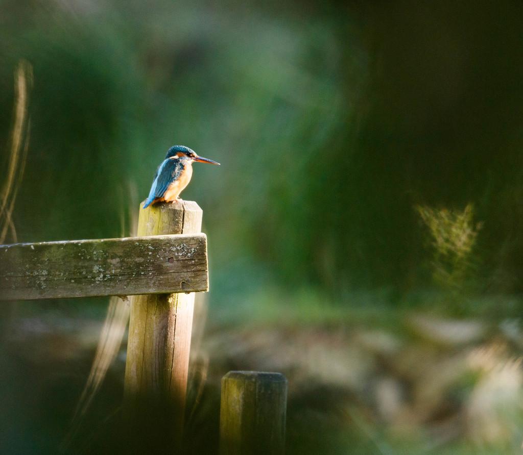 Female Kingfisher enjoying the sun by padlock