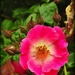 Another of Ken Nobb's Roses by yorkshirekiwi