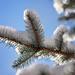 Snowy branch by kiwichick