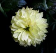 29th Nov 2016 - Little Chrysanthemum