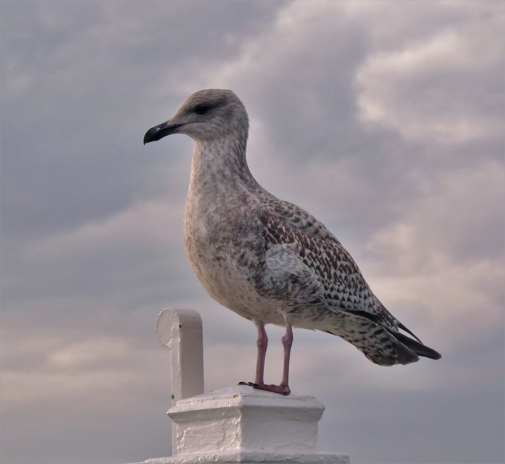 Another seagull by rubyshepherd