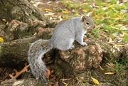 29th Nov 2016 - Squirrel with Nut