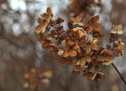 29th Nov 2016 - Autumn Hydrangea
