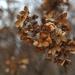 Autumn Hydrangea by loweygrace
