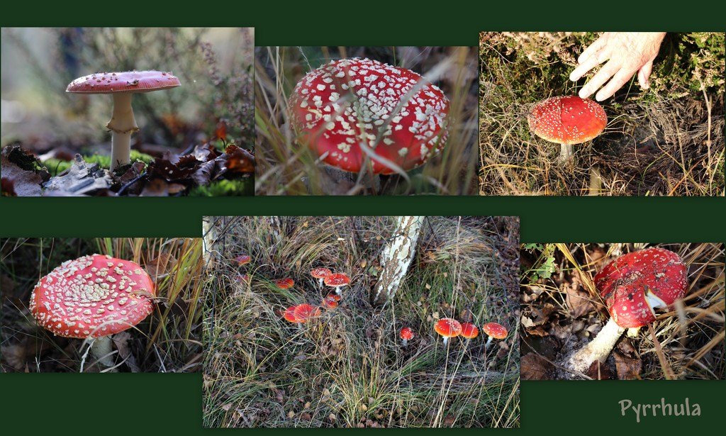 The toadstool of all toadstools by pyrrhula