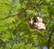 30th Nov 2016 - Jacaranda Seed Pods..._DSC7142