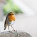Robin by dorsethelen