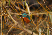 29th Nov 2016 - Kingfisher on a cold morning