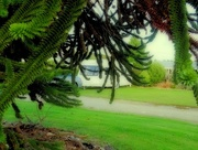30th Nov 2016 - Behind the Monkey Puzzle
