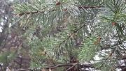 30th Nov 2016 - Rain On The Pine Trees