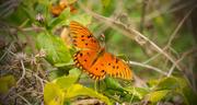 30th Nov 2016 - Late Gulf Fritillary Butterfly!