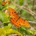 Late Gulf Fritillary Butterfly! by rickster549