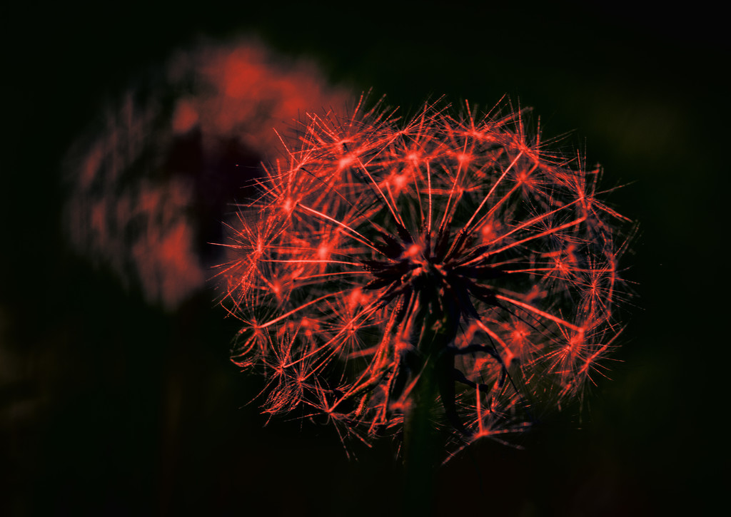 Sparkler Weed by stray_shooter