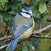BLUE TIT by markp