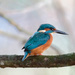 2016 12 01 - Kingfisher by pixiemac