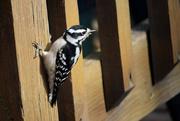 27th Nov 2016 - Female Downy Woodpecker