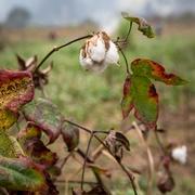 17th Nov 2016 - Cotton in Guilin