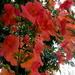 Alamanda flowers by 777margo