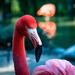 Flamingo Friday - 015 by stray_shooter