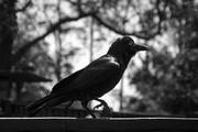 3rd Dec 2016 - Australian Crow