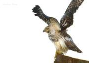 29th Nov 2016 - Cooper's Hawk Takes Flight
