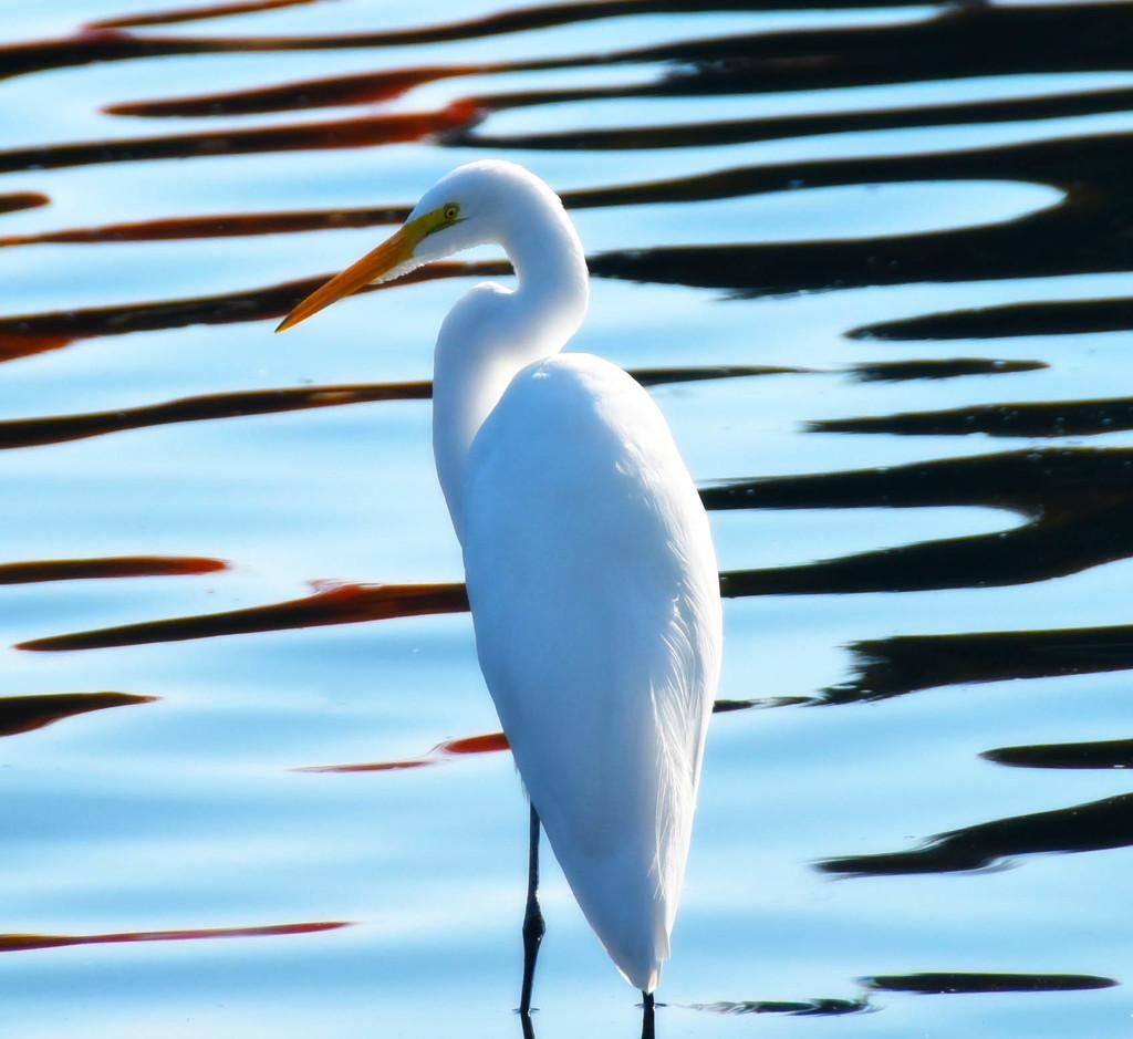 Lone Egret  by joysfocus