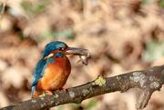 5th Dec 2016 - Male Kingfisher with Bullhead