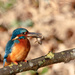 Male Kingfisher with Bullhead by padlock