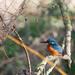 Male Kingfisher enjoying the sun by padlock