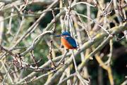 2nd Dec 2016 - Male Kingfisher enjoying the sun-filler