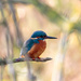 2016 12 05 - Kingfisher of the Day by pixiemac