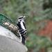 Female woodpecker having breakfast