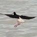 Dainty landing - pied stilt by maureenpp