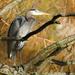 Heron by seattlite