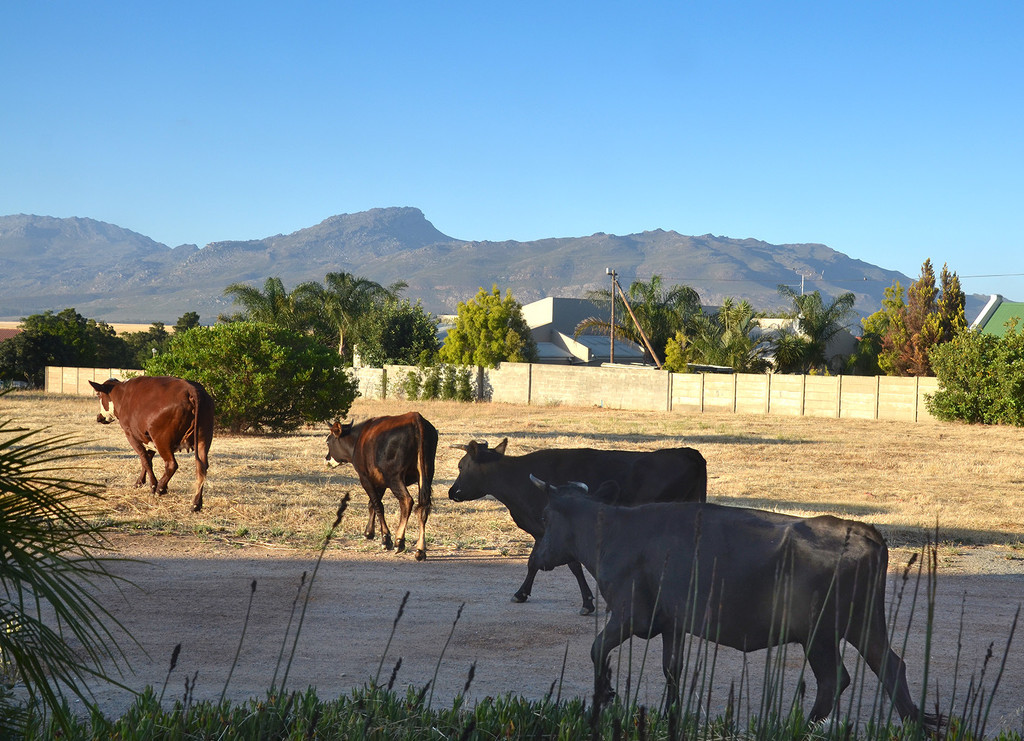 Cows in the Hood by salza