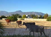 7th Dec 2016 - Cows in the Hood