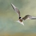 Arctic Tern by shepherdmanswife