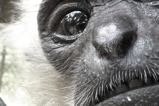 Cambodia: Gibbon  by helenhall
