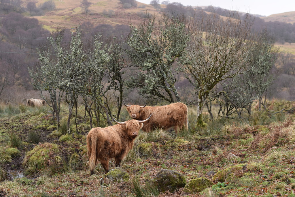 cows and trees by christophercox