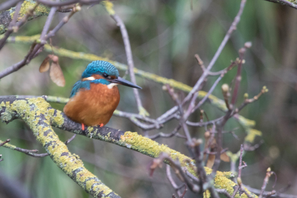 Kingfisher Male by padlock