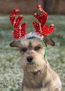 8th Dec 2016 - I'm not a reindeer...
