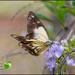 Butterfly by kerenmcsweeney