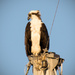 Osprey on the Sailboat Mast! by rickster549