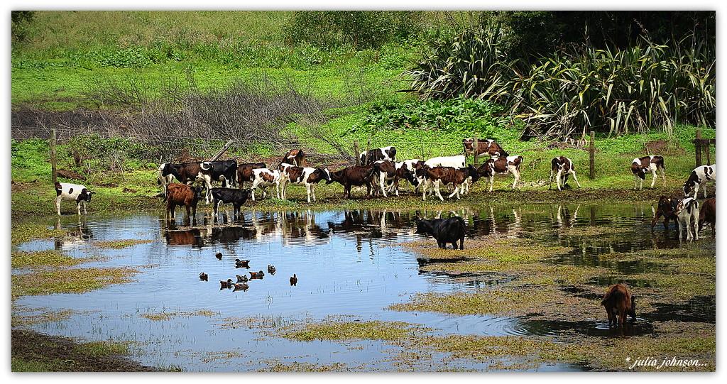 Calves taking a summer dip.. by julzmaioro