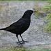 Blackbird  and Berries. by wendyfrost